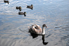 En svan och fyra änder på vattnet Royaltyfri Foto