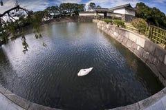 En svan på Japan den imperialistiska slotten Fotografering för Bildbyråer