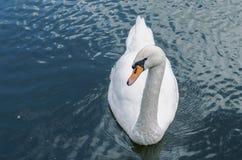 En svan på vattnet Arkivfoton