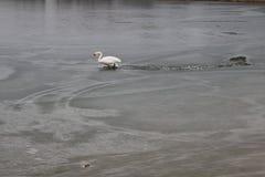 En svan som klibbas i isen, försöker att få ut arkivfoton