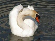 En svan som ser dig Royaltyfria Foton