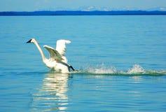En svan som tar flyg Royaltyfri Fotografi