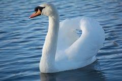 En svan som torkar det, är vingar Royaltyfri Fotografi