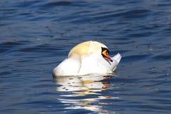En svan som vilar och sover på vattnet med den öppna näbb fotografering för bildbyråer