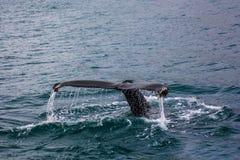 En svans av en stor fisk i vattnet arkivfoton