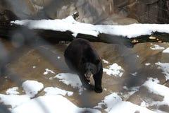 En svart björn Royaltyfria Bilder