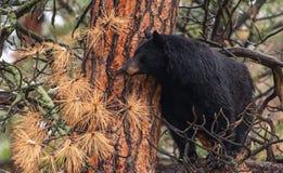 En svart björn på en trädfilial royaltyfria foton