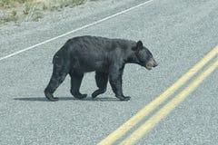 En svart björn som korsar vägen royaltyfria bilder