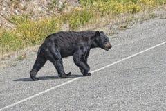 En svart björn som korsar vägen royaltyfri foto