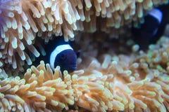 En svart clownfisk med vita musikbandskinn bland havsanemon arkivfoto