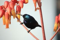 En svart fågel på trädet arkivfoton