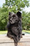 En svart fluffig hund väntar på terrassen royaltyfri bild