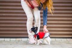 En svart fluffig vit, den kvinnliga longhaired roliga hunden könsbestämmer med större ögon, Chihuahuaaveln, iklädd röd klänning a Arkivbild