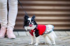 En svart fluffig vit, den kvinnliga longhaired roliga hunden könsbestämmer med större ögon, Chihuahuaaveln, iklädd röd klänning d Royaltyfri Bild