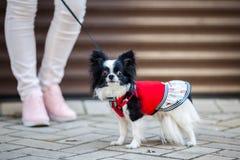 En svart fluffig vit, den kvinnliga longhaired roliga hunden könsbestämmer med större ögon, Chihuahuaaveln, iklädd röd klänning d Royaltyfri Fotografi
