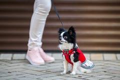 En svart fluffig vit, den långhåriga roliga hunden med emale könsbestämmer med större ögon Chihuahuaaveln, iklädd röd stucken klä Royaltyfri Fotografi
