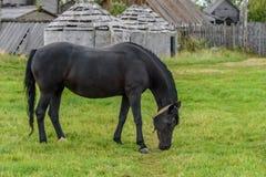 En svart häst betar på en grön gräsmatta i nedgången Arkivfoto