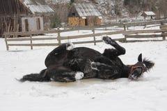 En svart hästrullning i snön Arkivbild