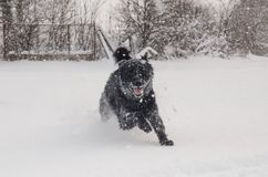 En svart hund i snön arkivfoto