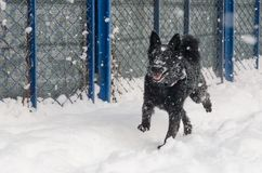 En svart hund i snön royaltyfri bild