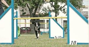 En svart hund som hoppar över två odysseyen 7Q för hinder 4K FS700 arkivfilmer