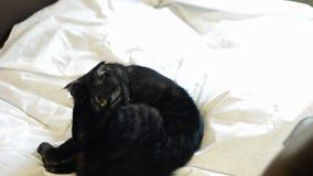 En svart katt tvättar sig med dess tunga på ett vitt ark arkivfilmer