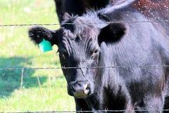 En svart ko som ser till och med a till och med ett taggtrådstaket arkivbilder