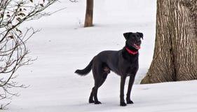 En svart labrador Arkivfoto