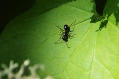 En svart myra på ett blad Arkivfoton