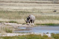En svart noshörning ankommer på en waterhole på en varm dag i Etosha, Namibia arkivfoton