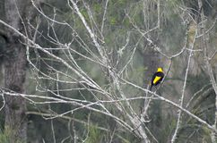 En svart och en gul bersåfågel i ett kalt träd arkivfoton