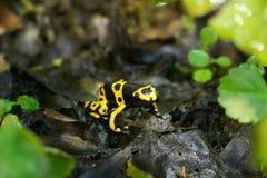 En svart- och gulingpilgroda Arkivfoton