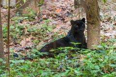 En svart panter är den melanistic färgvarianten av den stora katten Royaltyfri Foto