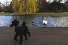 En svart pudel som skrämmas av en svan royaltyfria bilder
