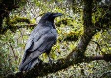 En svart som är korpsvart på trädet Arkivfoton