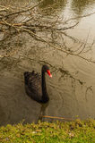 En svart svan i flodstranden royaltyfri bild