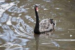 En svart Swan Arkivfoto