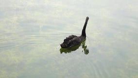 En svart Swan stock video