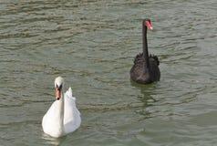 Svartvit Swan arkivbilder