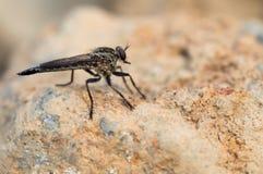 En svart tailed på vaggar robberfly royaltyfri fotografi