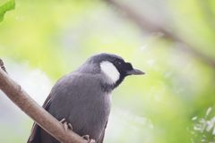 en svart throated skratta trast på zoo Fotografering för Bildbyråer