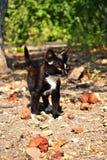 En svart underbar och allvarlig katt Royaltyfri Bild