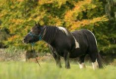 En svartvit hästmajskolv som matar på gräs Arkivfoton
