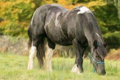 En svartvit hästmajskolv som matar på gräs Royaltyfri Bild