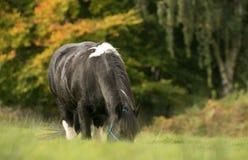En svartvit hästmajskolv som matar på gräs Royaltyfri Foto