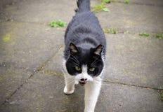 En svartvit katt Arkivbilder