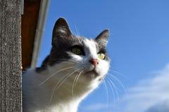 En svartvit katt ser ut ur balkongen Stående av en katt Arkivfoto