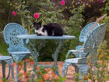 En svartvit katt som vilar på tabellen royaltyfri foto