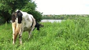 En svartvit ko med ett krokigt horn som vilar i, betar lager videofilmer