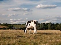 En svartvit ko som betar i ett fält på en dag för sommar` s i de Arkivbilder
